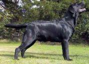 Labrador retriever cachorros inscritos hijos champion