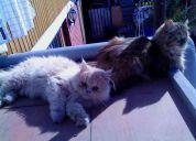 Vendo fina pareja de gatos persa