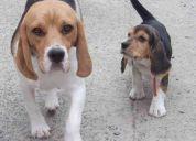 Ultima cachorra beagle!!!