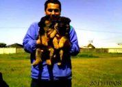 Vendo pastores alemanes de exelentes caracteristicas en estructura y colores