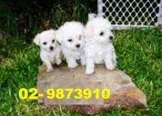 Hermosas poodles enanitas se envian a regiones despachos en santiago gratis