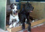 Cachorros gran danes, padres a la vista