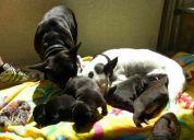Bulldog frances cachorritas 1 mes