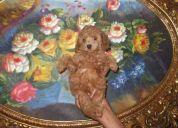 Hermoso cachorrito poodle micro toy rojo