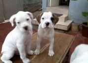 Vendo cachorros boxer albinos