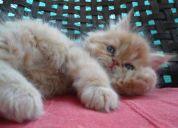 Gatitos persa disponibles