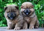 *** vendo hermosa cachorrita chow chow ***