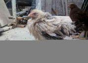 Se venden gallinas de raza