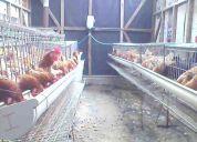 Vendo gallinas isa y lohmann en sus jaulas