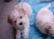 Se venden lindos cachorros maltes