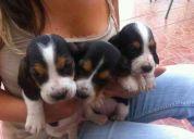 cachorros basset hound tricolor a la venta