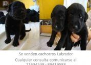 Se venden cachorros de raza labrador