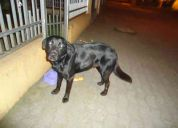 Labrador  busca hogar responsable donde lo cuiden mucho