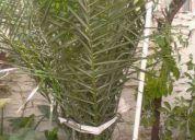 Vendo una palmera