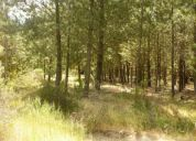 Parcela 1 hectarea eucaliptus y pinos