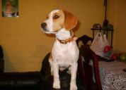 Busco novia para beagle bi-color