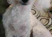 Necesito macho poodle toy para cruza en la serena
