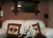 Regalo cachorro foxhound (perro zorrero) 8 meses