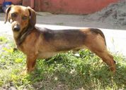 Busco novia salchicha / dachshund