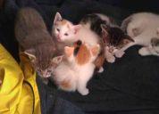 Se regalan gatitos esfinge pelo corto