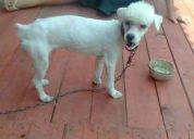 Busco perro poodle para cruza