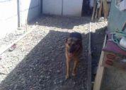Busco  novia  soy un lindo perro pastor aleman....