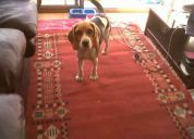 Beagle perdida