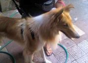 Encontre perro collie en bustamante