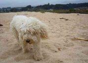 Perdi perro poodle en el sector de av la dehesa con pie andino