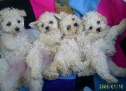 Vendo cachorroa de 3 ,meses poodle toys blancos $ 60.000.