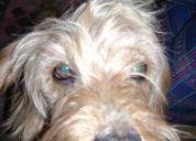 perrito perdido ñuñoa echeñique/montenegro
