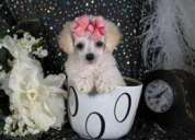 Cachorros poodles micro toy