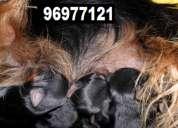 Vendo  cachorros yorkshire mini toy hembras y machos preciosos y finos.