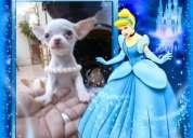 Chihuahua blanca inscrita de 3 meses