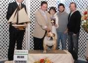 Espectacular campeon bulldog para cruza, hijo ch mundial, inseminacion gratis!!