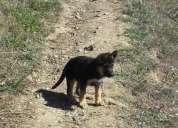 Ultimas cachorras pastor ovejero alemán