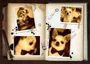 Chihuahua yorkshire !!!! bellisimos reproductores !!!! para cruza .....