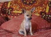 Ultimo cachorrito chihuahua
