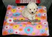 Cachorros poodle microtoy  entrega inmediata