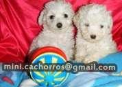 Cachorros poodle toy envío a regiones
