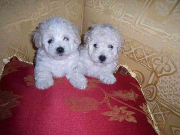 vendo los ultimos cachorritos poodle toys hermosos