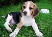 Busco perrita beagle de 4 meses.