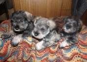 Se vende perrita yorshay terrier toy