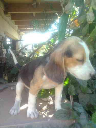 lindo cachorrito beagle