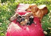Vendo cachorros salchichas dachshund
