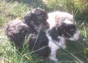 Vendo cachorritas de 2 meses