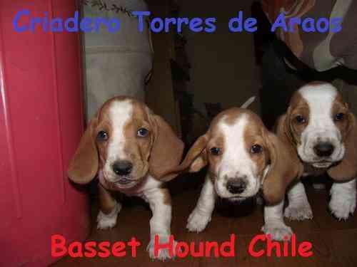 BASSET HOUND CHILE - CRIADERO TORRES DE ARAOS