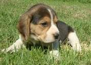 Se venden cachorros beagle