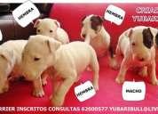 Se venden cachorros yorkshire