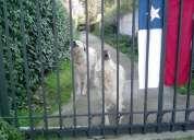 Perros protectores de rebaños chile (  gran pirineos o montaña  )
